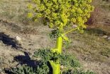 پیش بینی برداشت ۳ تن شیره آنغوزه تلخ از اراضی مرتعی شهرستان بافق