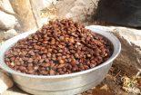 یزد | رسم شیرین، شیرین کردن تنه زردآلو در قطرم + تصاویر