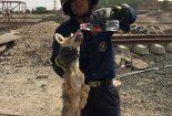 نجات یک قلاده روباه از یکی از چاله های گود برداری شده پروژه گندله سازی سه چاهون+تصاویر