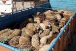 کامیون حامل ۲۲ راس گوساله قاچاق به مقصد نرسید