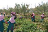 برگزاری دوره آموزشی چگونگی مراحل کاشت، داشت و برداشت محصولات قابل کاشت با حضور همیاران طبیعت دانش آموز در بافق