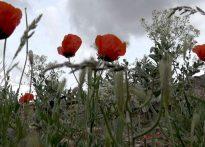 شقایق های وحشی روستای بنستان بهاباد