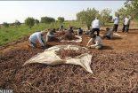 ۸۰ هکتار از اراضی زراعی شهرستان بافق زیر کشت روناس